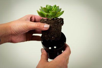 Pequeños cactus para regalar